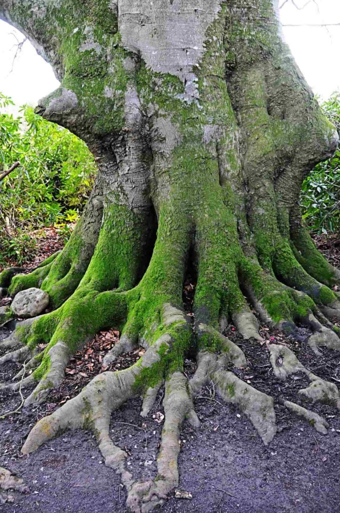 tree with large roots which can cause shifting